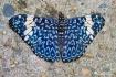 Cracker Butterfly...