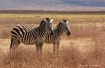 Two zebra, Ngoron...