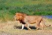 Male Lion, Sereng...
