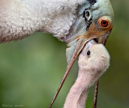Spoonbill Feeding chick