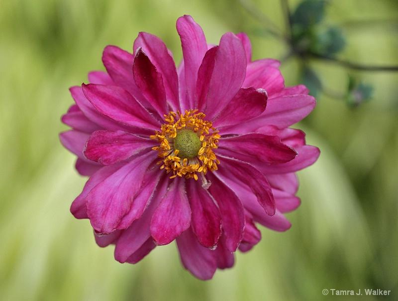 Summer Pinks - ID: 11130852 © Tamra Walker