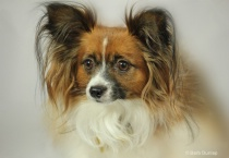 Intensity - Our Papillon, Quincy