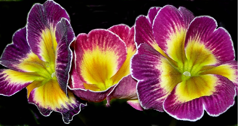 Pretty Primulas