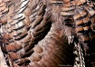 Wild Turkey Armor