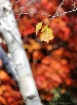 Birch and Bokeh