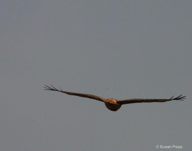 In Flight - ID: 11169283 © Susan Popp