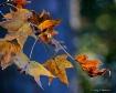 Sundown Leaves