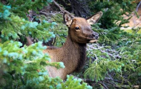 Peeking Thru the Woods