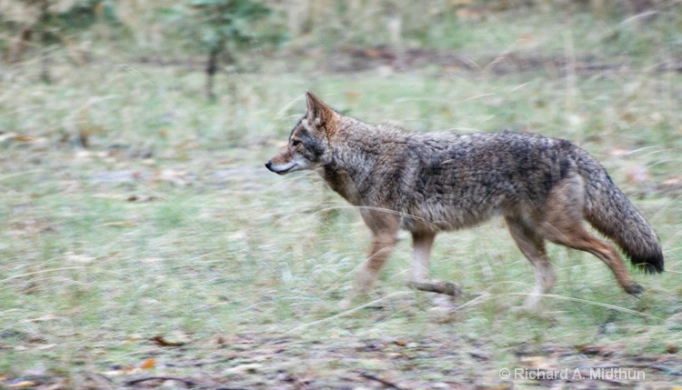 Trotting Coyote, Yosemite Valley