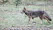Trotting Coyote, ...