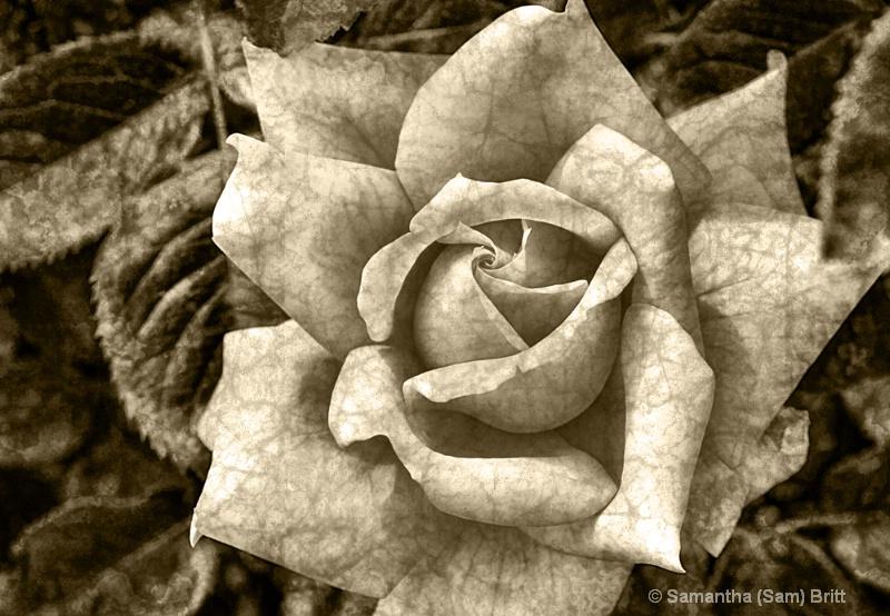 Vintage Rose in Sepia