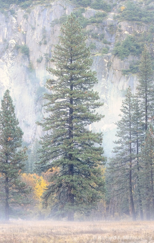 Trees in the Morning Mist, Yosemite