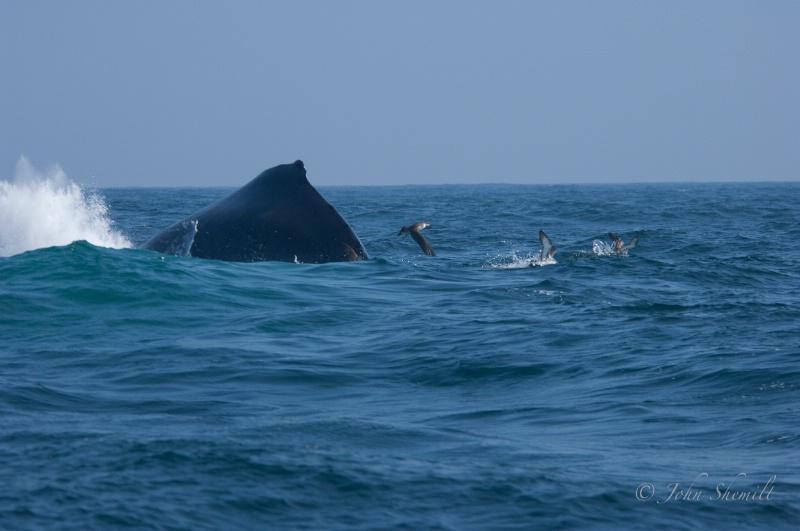 Hump-backed Whale, July 3rd 2009 - ID: 11199421 © John Shemilt