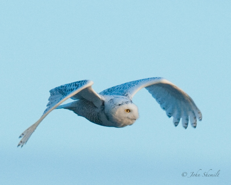 Snowy Owl - Dec 6th 2008 - ID: 11202862 © John Shemilt
