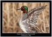 Green Winged Teal...