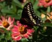 Swallowtail on Pi...