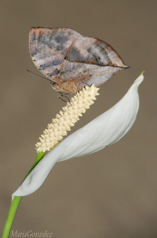 Indian Leaf On Peace Lily