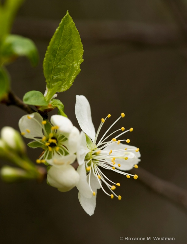 Spring Blossoms - ID: 11215875 © Roxanne M. Westman