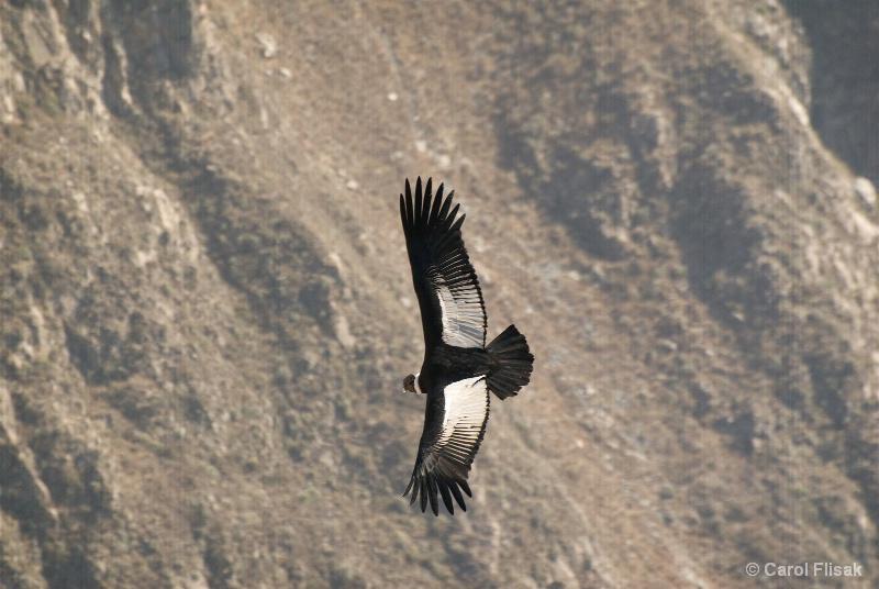 Andean Condor ~ Colca Canyon - ID: 11225218 © Carol Flisak