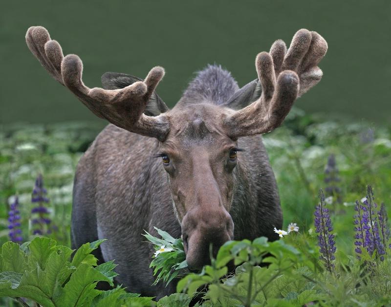 Grazing Moose - ID: 11233850 © Kathy Reeves