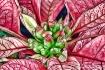 Poinsettia 3