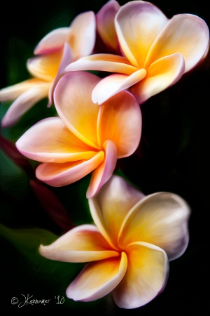 Photography Contest Grand Prize Winner - June 2011: Plumeria