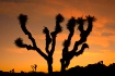 Joshua tree natio...