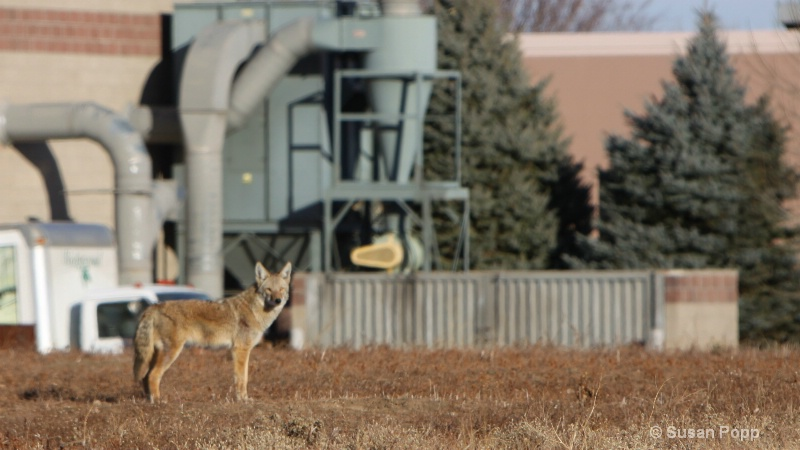 Coyote - ID: 11245564 © Susan Popp