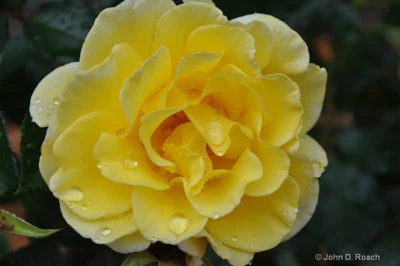 Yellow Rose - ID: 11246234 © John D. Roach