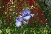 Iris Outside the ...