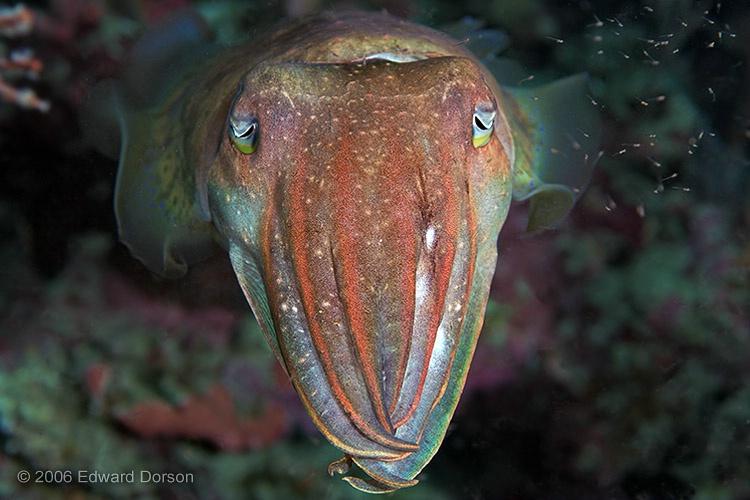 Cuttlefish_4 - ID: 11262297 © Edward Dorson