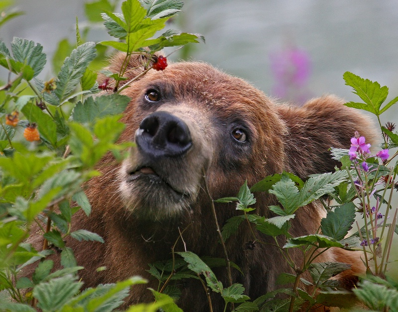 Berry Bear - ID: 11269654 © Kathy Reeves