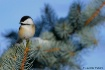 Bright Chickadee