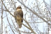 Red-tailed Hawk i...