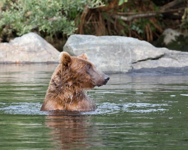Swimming for Salmon II - ID: 11290484 © Donald R. Elmendorf