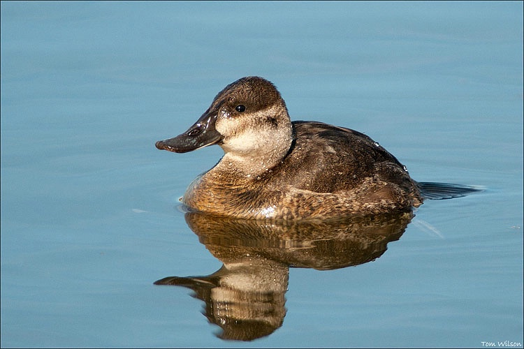 Female Ruddy Duck - ID: 11291673 © Thomas R. Wilson