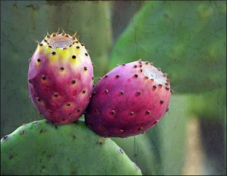 Prickley Pear Cactus Blooms