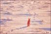 Coyote Contemplat...