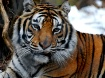 Emerson the Tiger