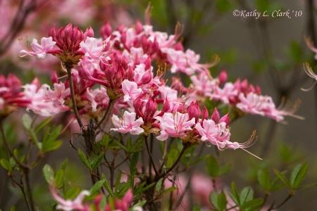 Pink Azalea Delight