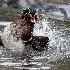 © Leslie J. Morris PhotoID # 11312925: Wood Duck Tango \