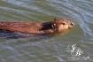 Got Beaver?
