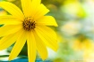 """Sun Flower&#..."