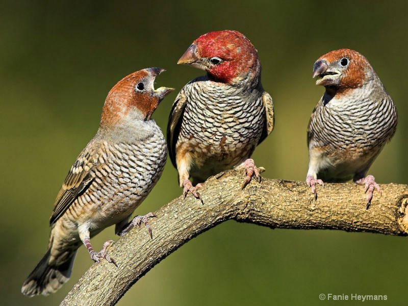 Red Head Finch