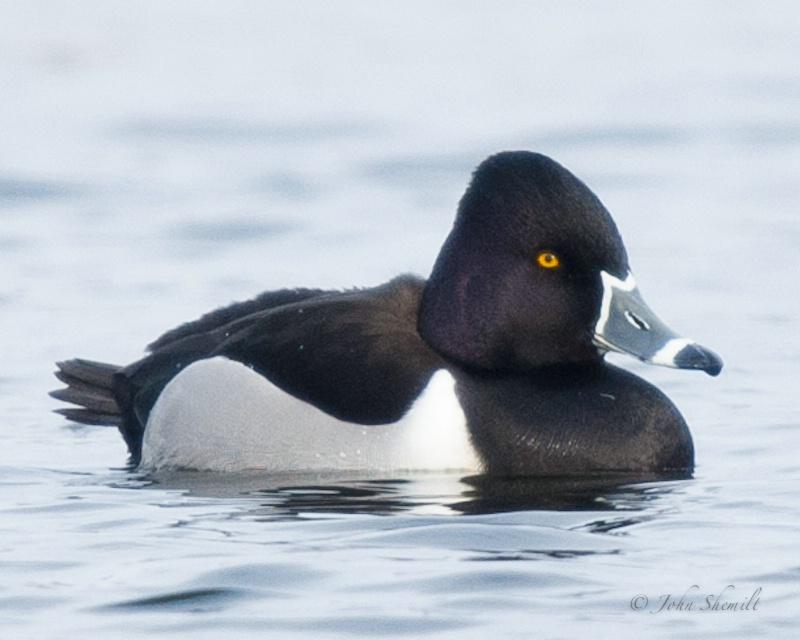 Ring-necked Duck - Jan 8th 2010 - ID: 11323247 © John Shemilt