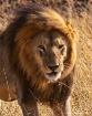 Simba, Serengeti ...
