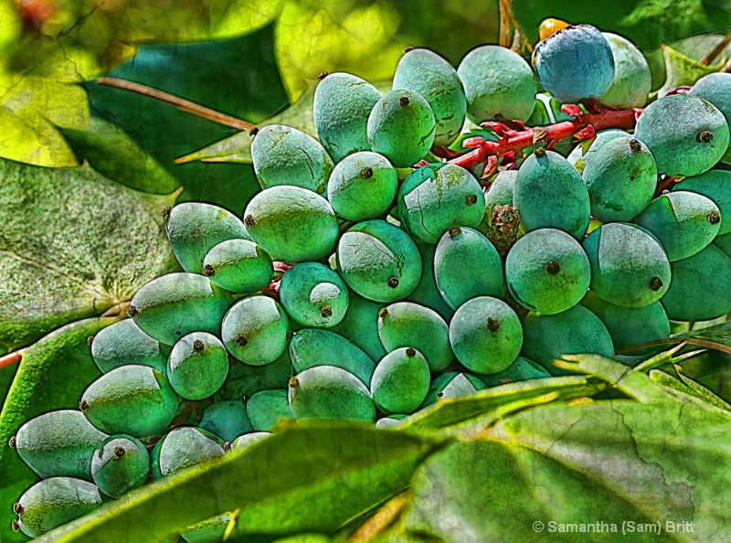 Leather Leaf Mahonia Berries