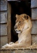 Lion at the CTR