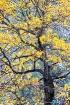 Autum Oak and Gra...
