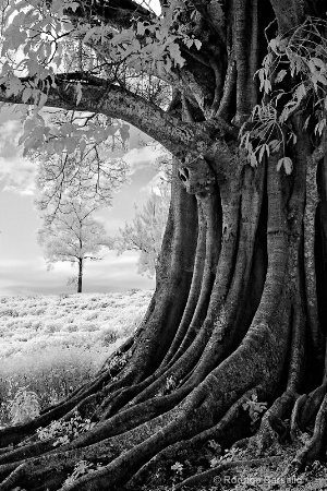 Old tree at the coffee plantation